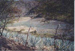 Agave crop in Oaxaca.