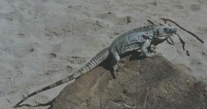 Iguana on the beach where NIGHT OF THE IGUANA was filmed